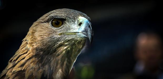 Schon viel gesehen: Der Adler. Foto: Stefan Krieger.