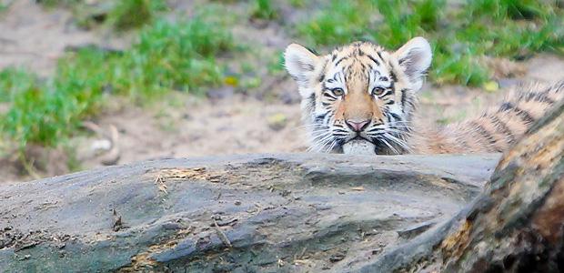 Der Tiger erwacht. Foto: Stefan Krieger.